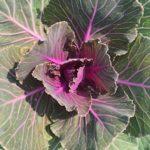 Cabbage/Kale